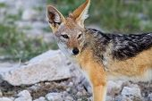 foto of jackal  - Close up of a jackal Etosha National Park Namibia Africa - JPG