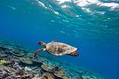 Hawksbill turtle swimming underwater among the coral reef
