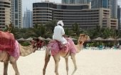 Camel on the Beach, the Urban Landscape in Dubai