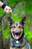 Portrait of working police dog on leash held by handler
