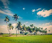 Vintage retro hipster style travel image of  rural Indian scene - rice paddy field and palms. Tamil