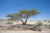 Sahara Acacia Tree In Desert Landscape