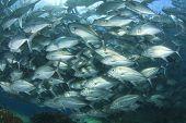 stock photo of bigeye  - School of Bigeye Jackfish  - JPG
