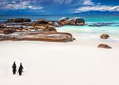 Wild South African penguins, little group of Jackass Penguins walking along Boulders beach in Simons
