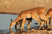 Impala antelopes (Aepyceros melampus) drinking at a waterhole, Etosha National Park, Namibia