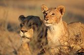 African lioness and cub (Panthera leo) relaxing in early morning light, Kalahari desert, South Afric