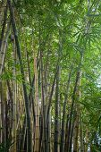 Thickets of bamboo tropical jungle.