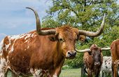 image of texas-longhorn  - Texas longhorn cattle on green pasture closeup - JPG