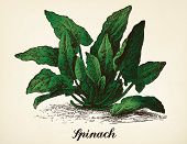 Spinach vintage illustration. Spinach vector image after vintage illustration from Brockhaus' Konversations-Lexikon, 14th edition, Leipzig 1896