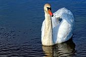 foto of trumpeter swan  - Swan floating on the lake - JPG