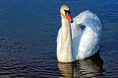 stock photo of trumpeter swan  - Swan floating on the lake - JPG