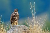 common buzzard in natural habitat (buteo buteo)