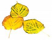 Three Autumn Multicolored Leafs