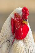 White hen.
