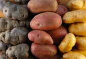 Fingerling Potatoes In Three Colors
