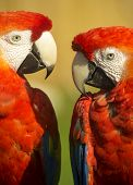 Red Macaw Parrots