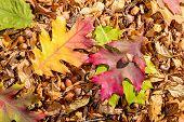 Oak Leaves And Acorn