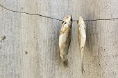 Dried Fish On A Wire