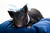 stock photo of pot-bellied  - A tired pot bellied pig lying on a pillow with a blue ribbon around its neck - JPG