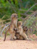 Chacma Baboons (papio Cynocephalus)