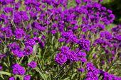 purple flowers of Rigid Verbena