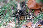 tarantula spider with big eyes