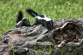 Baby Skunks Walking Across a Log