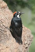 ������, ������: Acorn Woodpecker melanerpes Formicivorus