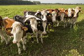 Curious Dutch cows in a pasture near Winterswijk in the Netherlands