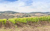Tuscan Wineyard