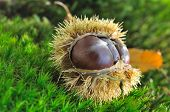 Chestnuts On Husk