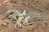 Meerkat Gang Or Family