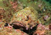 Pacific Spotted Scorpionfish