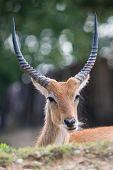 Cobo dell'Ellisse antilope portrait