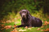 young labrador retriever dog in autumn