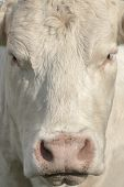 white cow's face