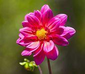 Single Pastel Colored Dahlla Close-up