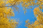 Natural Background. Frame Of Aspen Crowns With Yellow Leaves Against The Blue Sky