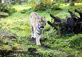 Amur tiger on a walk