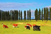Rural idyll in Chile. Orange and black cow peacefully grazing on a green pasture