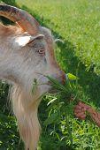 Billy Goat 1