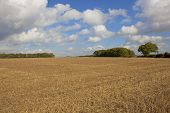 Harvested Field With Oak Trees