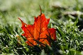 Maple Leaf on Dewy Grass