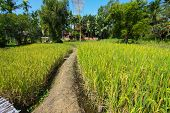 The beautiful landscape of rice fields. Rice fields with home and nature.