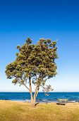 Pohutukawa Tree (metrosideros Excelsa), A Coastal Evergreen Tree Endemic, New Zealand.