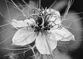 Nigella (love In A Mist) Flower