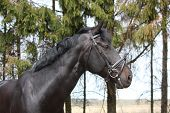 foto of bridle  - Portrait of black sport horse with leather bridle