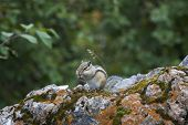 stock photo of chipmunks  - Chipmunk in the wood among stones - JPG