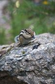 Chipmunk in the wood