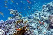 Coral Reef With Hard Coral Violet Acropora At The Bottom Of Tropical Sea poster